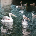 Русские пеликаны Сент-Джеймского парка